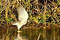 Sparrowhawk - RSPB Sandy (15961211629).jpg