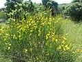 Spartium junceum, France.jpg