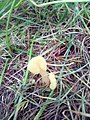 Spathularia flavida 80317951.jpg