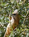 Speckled Mousebird (Colius striatus) (32400135092).jpg