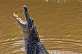 Spectacled Caiman - Spectacled Caiman - Baba (Caiman crocodilus) (10870277833).jpg