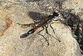Sphecidae (32744045924).jpg