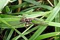 Spider (Bray Lake) (22230454483).jpg