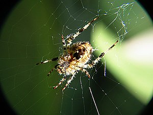 Spider and messy web.