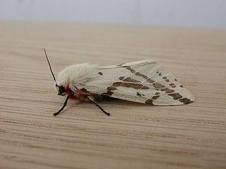 Ardices canescens - Female imago
