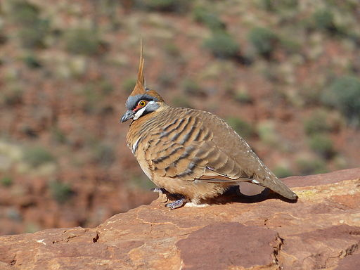 Spinifex Pigeon - Kings Canyon