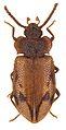 Spinolyprops thailandicus paratype - ZooKeys-243-083-g003-12.jpeg
