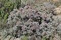 Spiny Ruschia (Ruschia spinosa) (31938312954).jpg