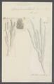 Spongia oculata - - Print - Iconographia Zoologica - Special Collections University of Amsterdam - UBAINV0274 112 05 0010.tif