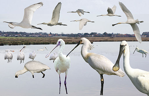 Spoonbill from the Crossley ID Guide Britain and Ireland