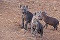 Spotted Hyaenas (Crocuta crocuta) cubs (32380071374).jpg