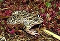 Spotted Marsh Frog (Limnodynastes tasmaniensis) (8271720542).jpg