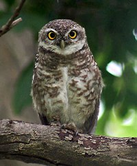 Spotted Owlet I IMG 6313