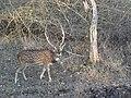 Spotted deer at Bannerghatta national park.jpg