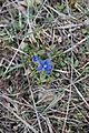 Spring gentian - Gentiana verna - panoramio.jpg