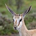 Springbok (Antidorcas marsupialis hofmeyri) juvenile head.jpg