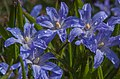 Squill With Raindrops (13993788125).jpg
