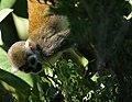 Squirrel monkey- Bonnet House, Fort Lauderdale, Florida (4233828200).jpg