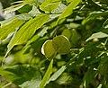 Staphylea pinnata D.jpg