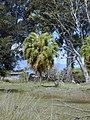 Starr-010330-0567-Livistona chinensis-habit-Makawao-Maui (24532068895).jpg