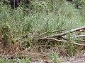 Starr-030405-0089-Cenchrus purpureus-habit-Makawao Forest Reserve-Maui (24261821229).jpg