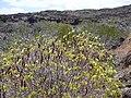 Starr-030716-0121-Senna gaudichaudii-habit with seed pods-Kanaio-Maui (24637462065).jpg