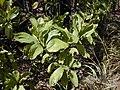 Starr-031013-0019-Acacia mangium-leaves-Hamakuapoko-Maui (24673627255).jpg