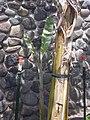 Starr-040318-0011-Musa x paradisiaca-Maoli Maia Manini Koae variegated habit-Maui Nui Botanical Garden-Maui (24699552785).jpg
