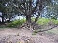 Starr-040403-0032-Schinus terebinthifolius-cut logs-Kanaha Beach-Maui (24607359811).jpg