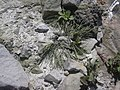 Starr-050404-0054-Panicum fauriei-habit-Mokeehia-Maui (24114641073).jpg