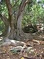 Starr-050517-1562-Ficus macrophylla-habit-Puu o Hoku Ranch-Molokai (24763170915).jpg