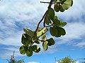 Starr-060922-9156-Clusia rosea-leaves and sky-Kahului Airport-Maui (24865743835).jpg