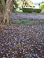 Starr-070519-7134-Jacaranda mimosifolia-flowers on ground-Makawao-Maui (24261178104).jpg