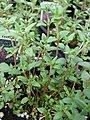 Starr-070906-8844-Thymus vulgaris-habit-Kula Ace Hardware and Nurseryula-Maui (24892124695).jpg