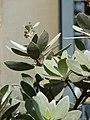 Starr-080103-1427-Conocarpus erectus-leaves-Lowes Garden Center Kahului-Maui (24808658391).jpg