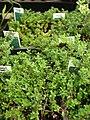 Starr-080117-1548-Thymus praecox subsp arcticus-habit-Walmart Kahului-Maui (24782245632).jpg