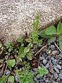 Starr-090401-5487-Veronica arvensis-habit-Olinda-Maui (24857591451).jpg