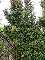 Starr-090514-7863-Myrtus communis-flowering and fruiting habit-Kula-Maui (24328471123).jpg