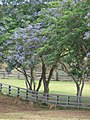 Starr-090608-9062-Jacaranda mimosifolia-flowering habit with deer browsing below-Makawao Veterinary Clinic-Maui (24335984623).jpg