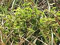 Starr-090617-0904-Clidemia hirta-habit in abandoned pineapple field-Peahi Haiku-Maui (24938716106).jpg
