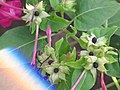 Starr-090730-3408-Mirabilis jalapa-flowers and leaves-Honolulu Airport-Oahu (24852708242).jpg