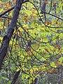 Starr-091029-8702-Fraxinus uhdei-fall foliage-Olinda-Maui (24619557109).jpg