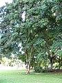 Starr-091104-0666-Adenanthera pavonina-habit-Kahanu Gardens NTBG Kaeleku Hana-Maui (24869444612).jpg