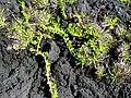 Starr-091104-0739-Bacopa monnieri-habit-Kahanu Gardens NTBG Kaeleku Hana-Maui (24356908264).jpg