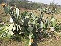 Starr-100504-5895-Opuntia ficus indica-flowering habit-Kula-Maui (25011113206).jpg