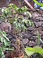 Starr-110124-0106-Ficus benjamina-habit-Sacred Garden of Maliko-Maui (24979063611).jpg