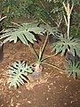 Starr-110209-0738-Philodendron bipinnatifidum-habit-Resort Management Group Nursery Kihei-Maui (24706847349).jpg