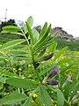 Starr-110301-1798-Vicia sativa subsp nigra-flowers and flies-Kula-Maui (24709366349).jpg
