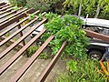 Starr-110307-2599-Wisteria floribunda-habit on trellis-Kula Botanical Garden-Maui (24985057301).jpg