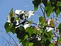 Starr-110330-4229-Ochroma pyramidale-leaves-Garden of Eden Keanae-Maui (24988125131).jpg